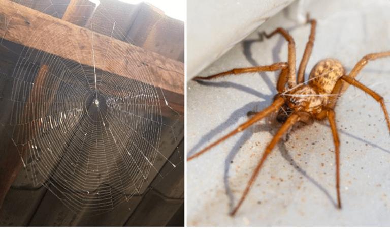 Un scientifique explique pourquoi il ne faut jamais tuer une araignée dans la maison