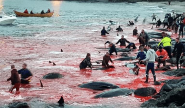 23 baleines tuées lors du Grindadráp, une tradition sanguinaire des îles Féroé