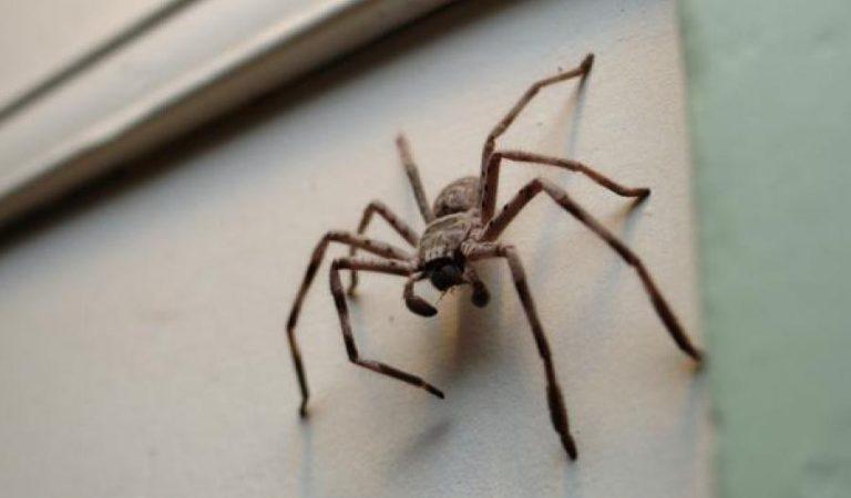 Dans quelques jours, vous allez voir beaucoup d'araignées à la maison: à quoi vous devez vous attendre