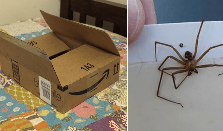 Les colis de vos achats en ligne peuvent contenir des araignées dangereuses