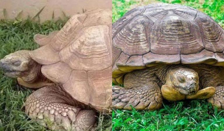 La plus vieille tortue « Alagba » au monde vient de décéder