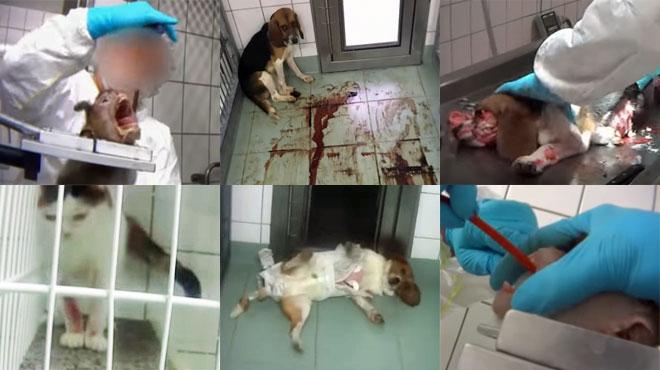 Caméra cachée dans un labo de test pharmaceutiques sur les animaux: des chiens, chats et singes enchaînés et torturés (vidéo)
