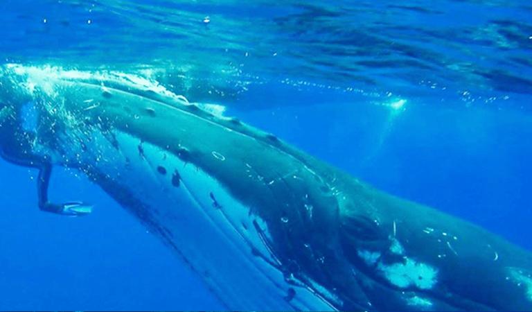 Une baleine à bosse sauve une biologiste d'une attaque de requin-tigre