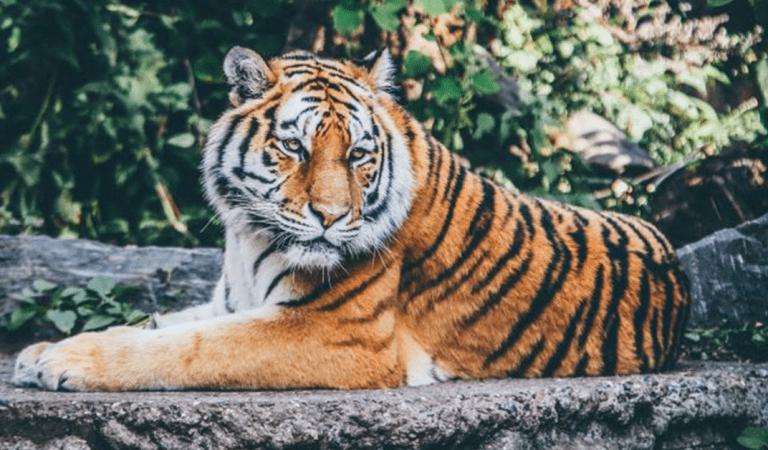 Un gros tigre (en peluche) terrifie les habitants du Mans, la police a été appelée à la rescousse
