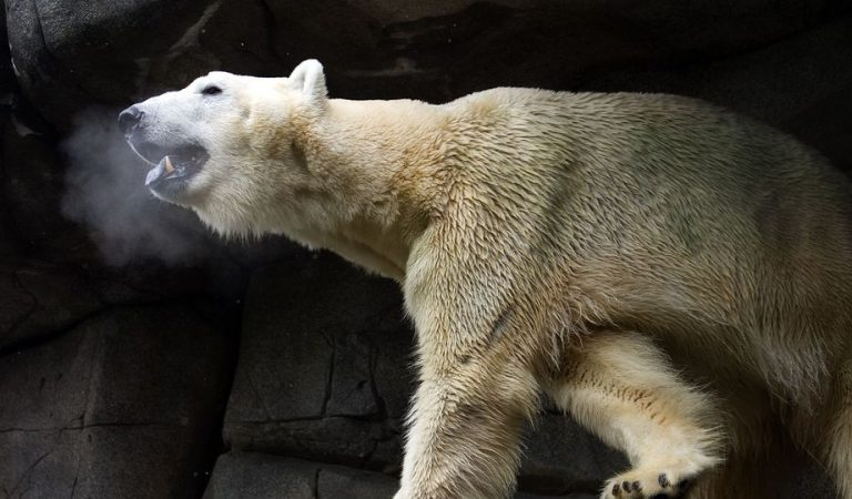 Scandale au Zoo d'Amnéville : le cadavre d'Olaf, l'ours polaire, tronçonné et envoyé à la déchetterie