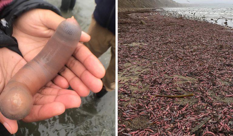 Californie : plusieurs milliers de poissons-pénis ont échoué sur une plage après une tempête