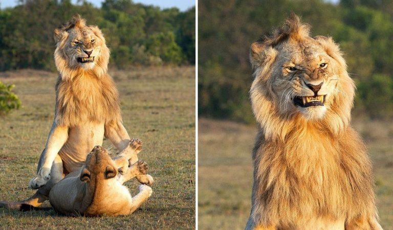 Un photographe a capturé le visage très satisfait d'un lion en train de s'accoupler avec une lionne