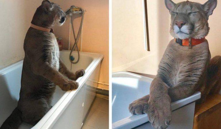 Un couple sauve un puma d'un zoo et l'élève comme un gros chat domestique