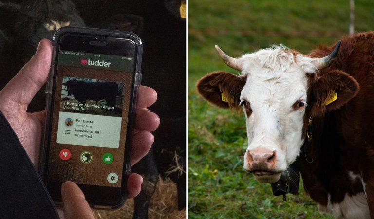 Tudder, l'appli inspirée de Tinder, qui aide les éleveurs à matcher les vaches et les taureaux
