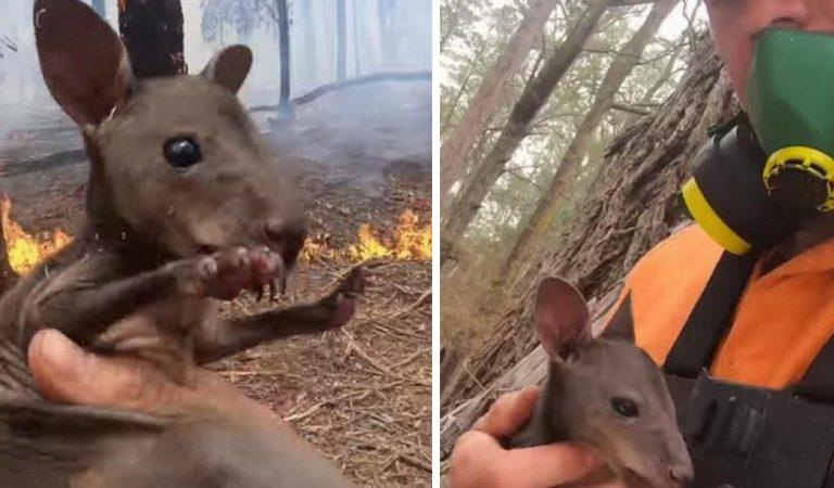 Australie : Sam, 24 ans, risque sa vie pour sauver un kangourou des flammes