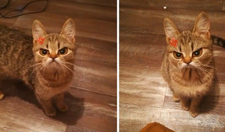 « Angry Cat »: le nouveau filtre Snapchat pour votre chat qui va vous faire rire