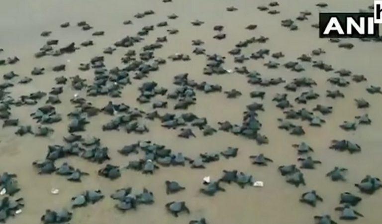 Une vidéo magique : des millions de bébés tortues rejoignent la mer pour la première fois