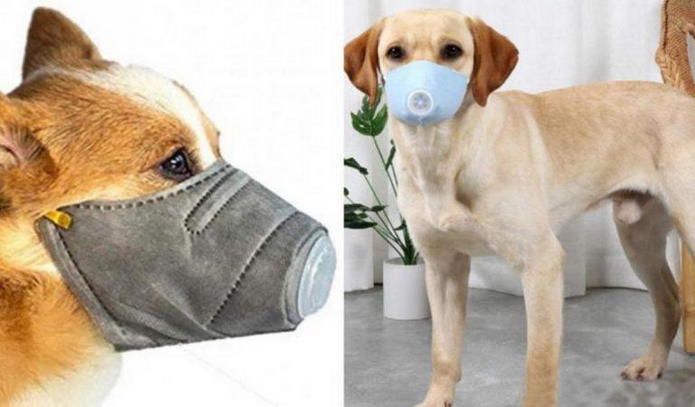 Coronavirus : masque pour chien utile ou pas? Les vétérinaires répondent.