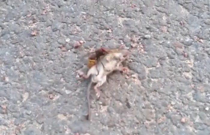 Cette vidéo montre la dangerosité du frelon géant asiatique : son dard tue une souris en moins d'une minute