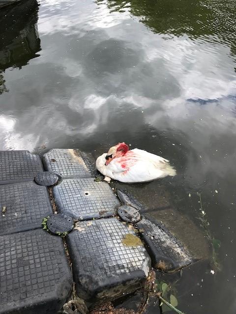 Un cygne blessé par des jets de pierres dans le canal de Manchester