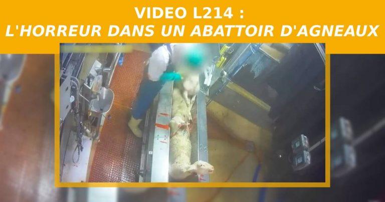 Des agneaux sont tués sans étourdissement dans cet abattoir ovin de Rodez.