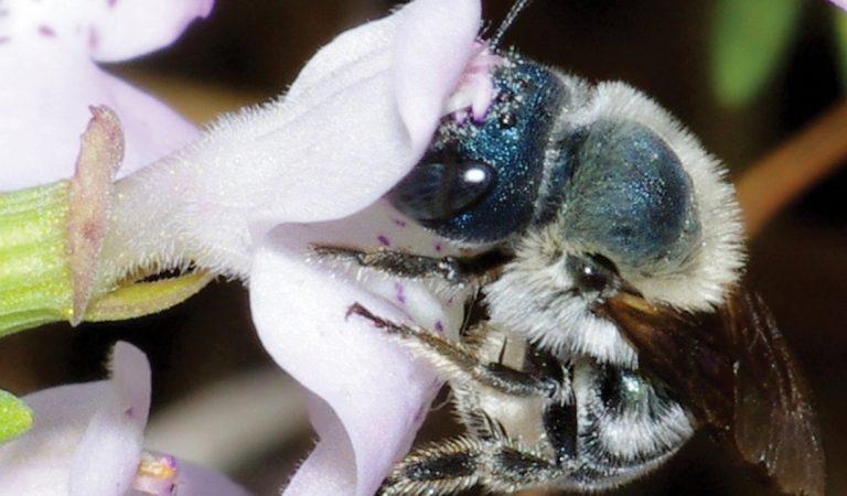 Floride : l'abeille bleue que les scientifiques croyaient éteinte réapparaît !