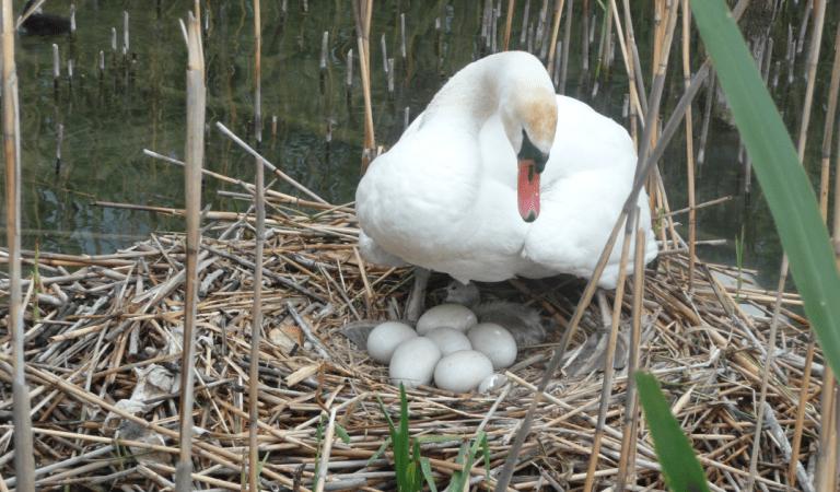 Un cygne meurt de chagrin après que ses œufs aient été brisés par des adolescents