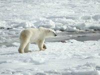 Un ours polaire marchant sur la banquise qui fond en Arctique.