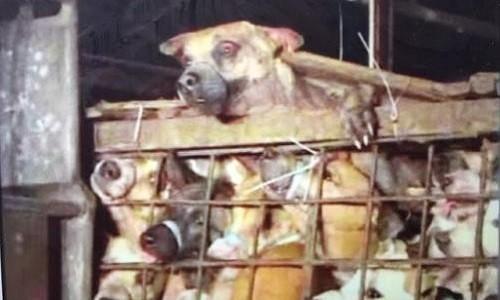 Des chiens mis en cage lors du festival de Yulin, en Chine.