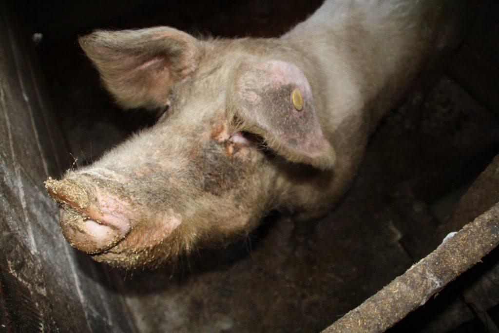 Un porc dans un abattoir.