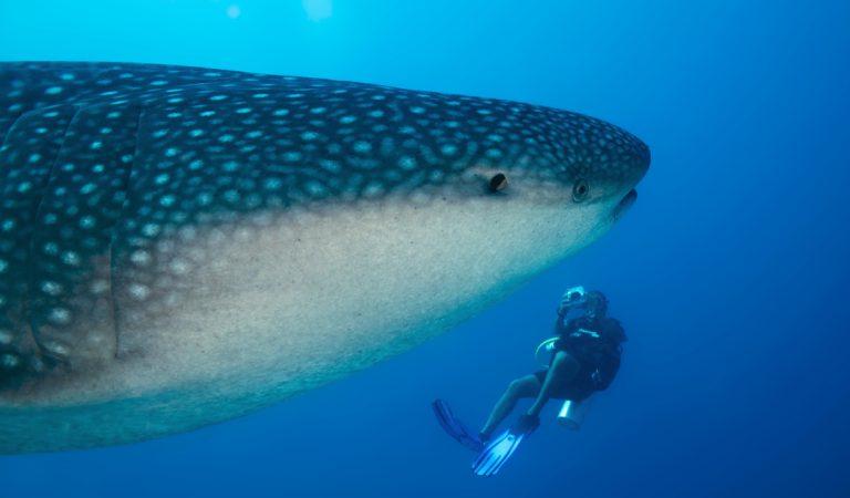 Un requin-baleine s'approche de deux plongeurs… pour leur demander de l'aide