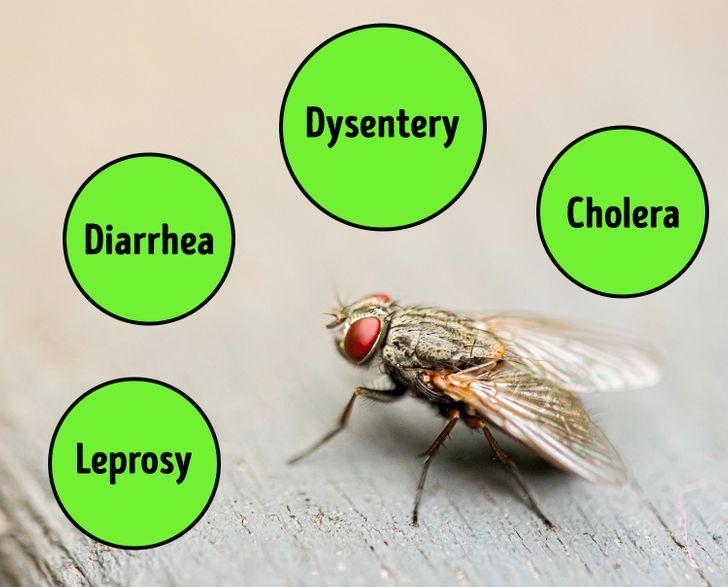 mouches responsables de plus de 60 maladies humaines