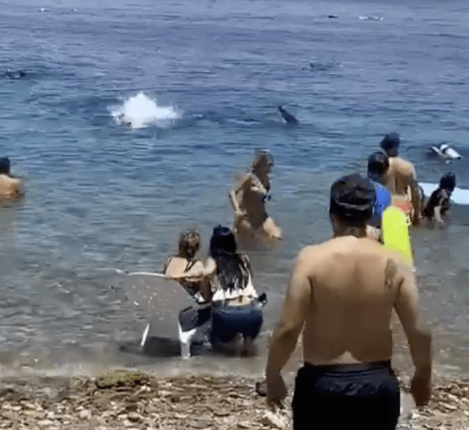 Un requin-baleine s'approchant d'Eilat.