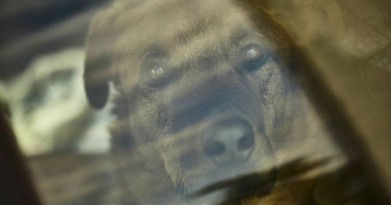 Un chien enfermé dans une voiture.