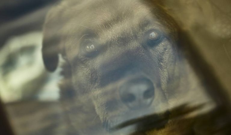 Enfermé dans une voiture au soleil, un chien lutte pour sa vie : les policiers choqués par la réponse du maître