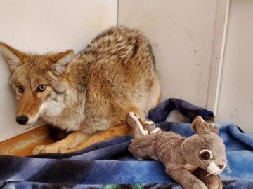 Le coyote renversé au Canada.