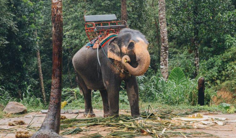 Les terribles images du «dressage» des éléphants pour les touristes en Thaïlande (Vidéo)