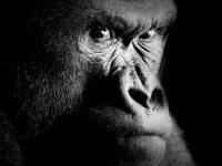 Un gorille de Cross River
