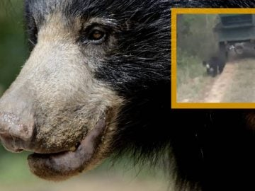 Un ours lippu, en Inde.