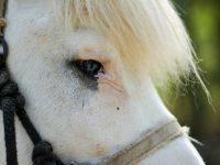A Dublin, un poney a été battu par des jeunes.