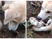Kookie en train de tenter de réanimer son chiot décédé.