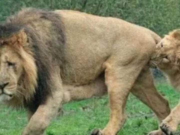 lionne chaleur zoo rotterdam