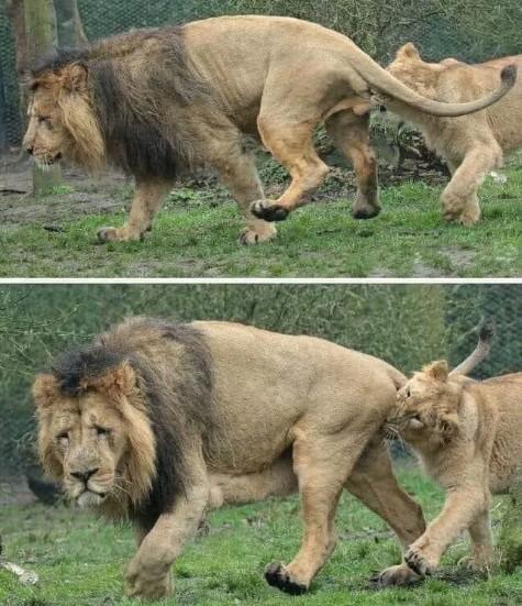 La lionne en train de mordre les testicules du lion.