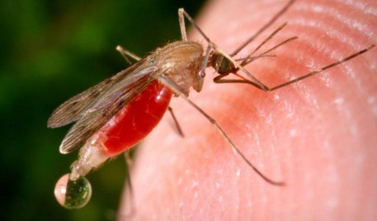 Covid-19 : les moustiques peuvent-ils transmettre le virus?