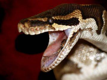 Un serpent brun en Australie.