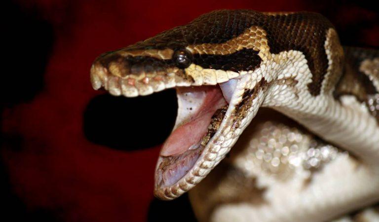 Australie: il combat à mains nues le serpent le plus venimeux du monde tout en conduisant (Vidéo)