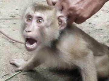 Un singe en Thaïlande, exploité pour cueillir des noix de coco.