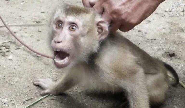 En Thaïlande, des singes capturés, maltraités et exploités pour la cueillette des noix de coco (Vidéo)