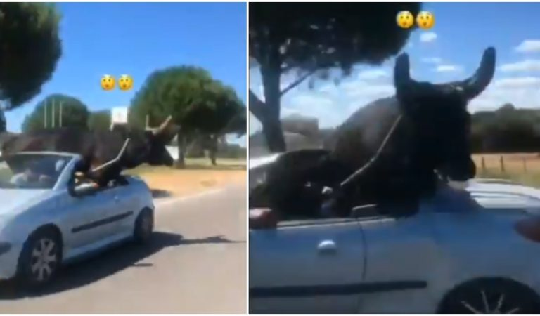 Camargue: il transporte un taureau dans sa décapotable comme si de rien n'était