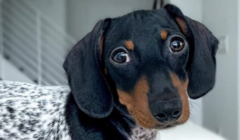 Ce chien avec une tête de teckel et un corps de dalmatien fait sensation sur Instagram (photos)