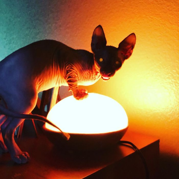 Un chat sphynx à la peau plissée