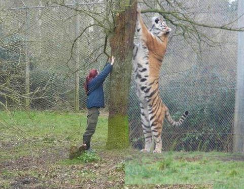 Les dimensions impressionnantes d'un tigre de Sibérie.