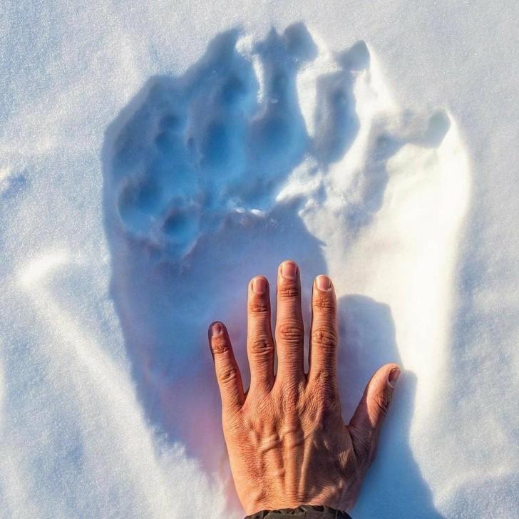 L'empreinte d'un ours polaire comparée à la main d'un être humain.