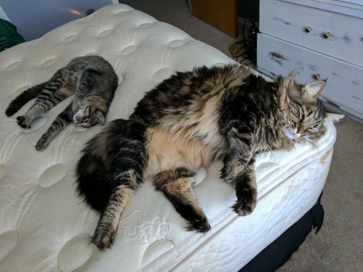 Un chat de taille normal et un Maine Coon immense