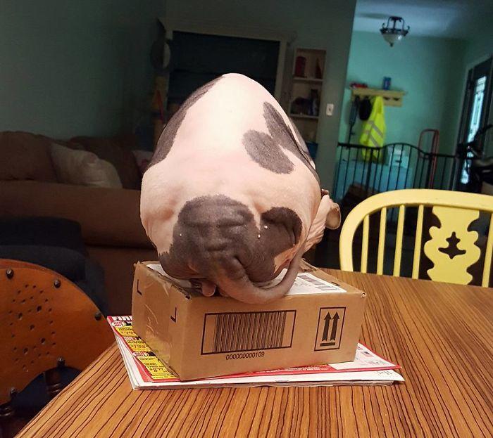 Un chat sphynx avec des tâches noires